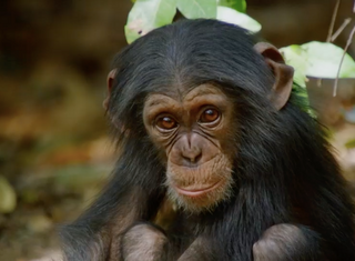 Attenborough's Dynasties: Primates, Politics and Preservation